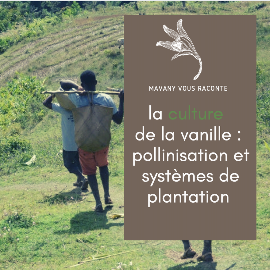 La culture de la vanille