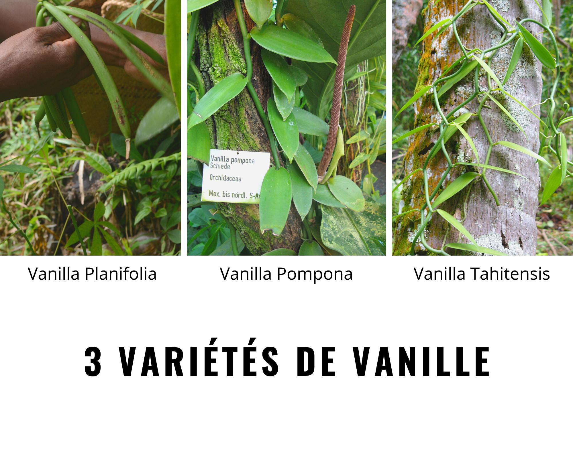 3 variétés de vanille.png