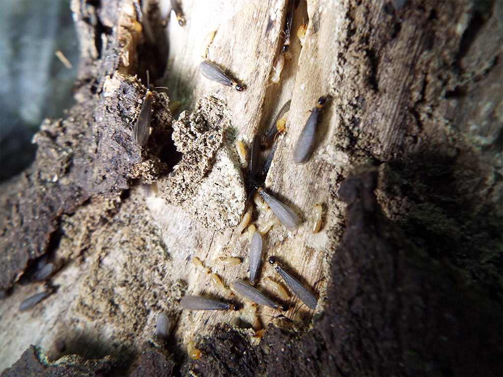 termites-volantes-noires.jpeg