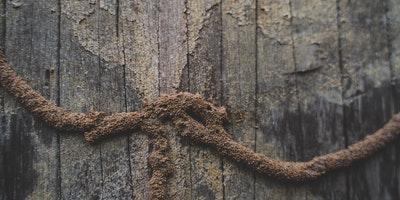 cordonnets-termites