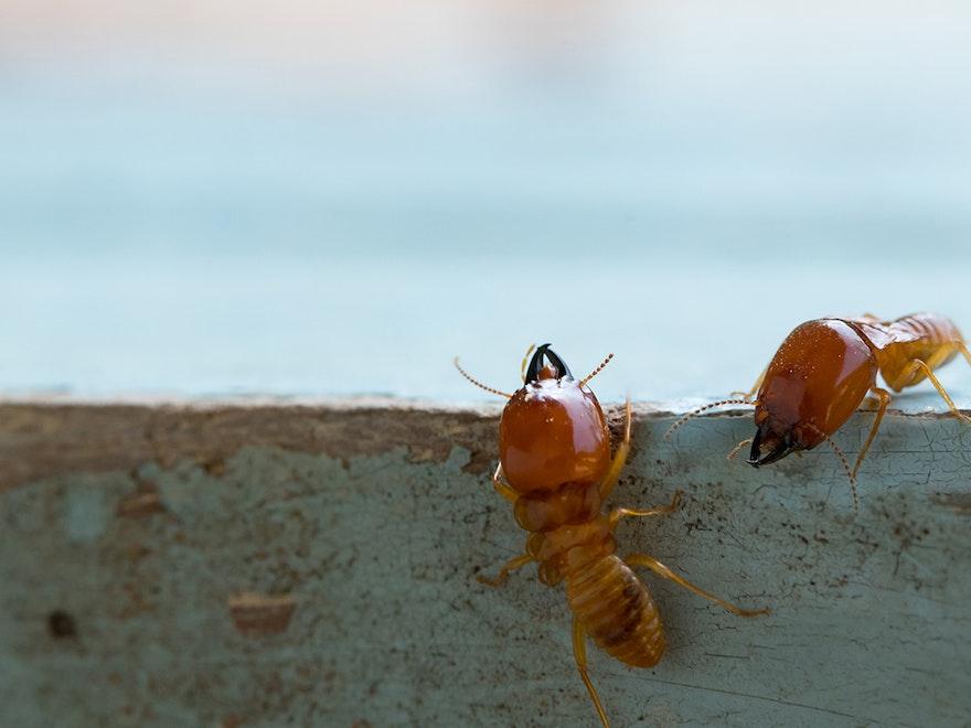 Termites : Définition