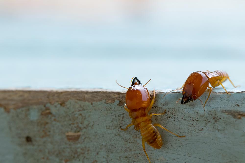 diagnostic-immobilier-obligatoire-termite.png