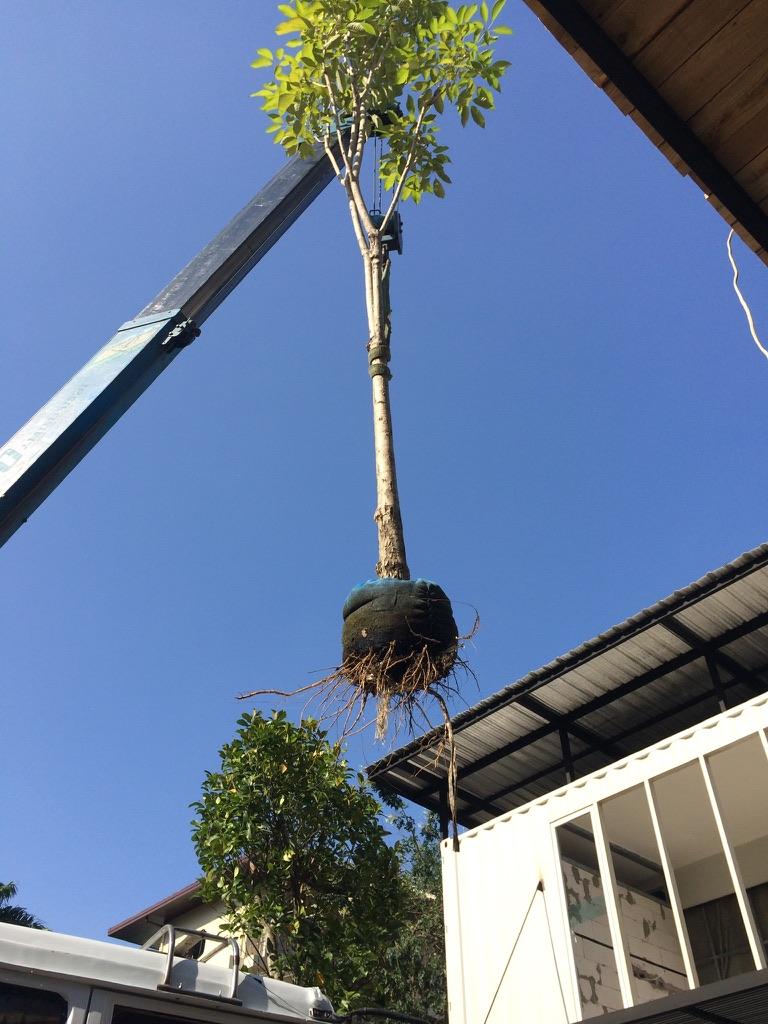 The Yard delivery of tree Bangkok